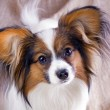 Stock Photo: Young papillon