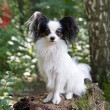 Papillon — Stock Photo