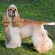 American cocker spaniel - Stock Photo