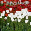 Royalty-Free Stock Photo: White and red tulips