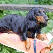 Dachshund standard langhaar — Stock Photo