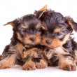 Yorkshire Terrier puppies — Stock Photo #1123387