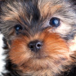 Yorkshire Terrier puppy — Stock Photo #1312883
