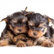 Yorkshire Terrier puppies — Stock Photo #1610947