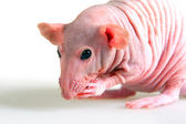 Naked rat — Stock Photo