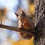 Squirrel — Stock Photo #1790597