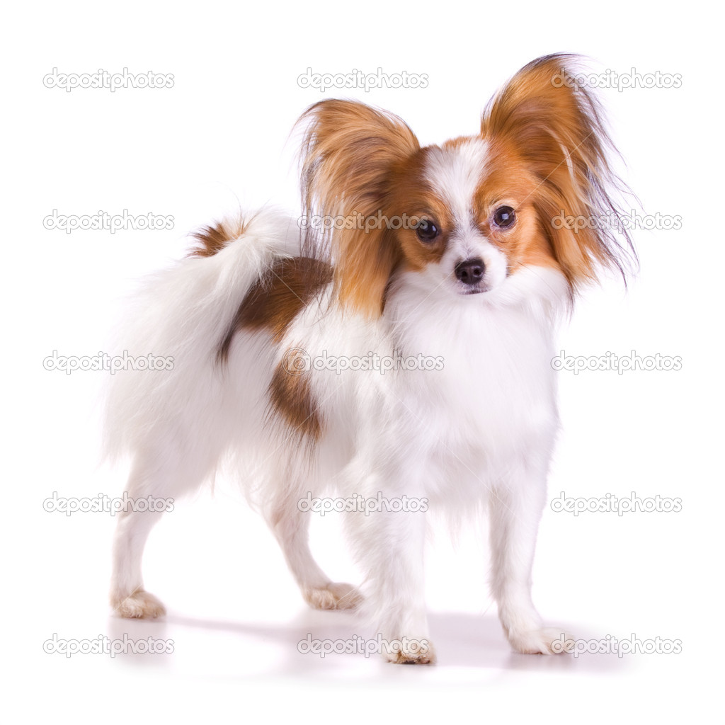 Dog of breed papillon isolated on a white background — Stock Photo #1790850