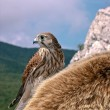 Stock Photo: Falcon sits on animal skin