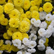 Yellow and white autumn flowers — Stock Photo