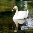 White swan floating in a pond — Stock Photo #1165217
