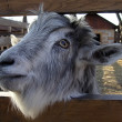 Stock Photo: Goat looks at us because of fence