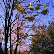 Autumn leaves against the blue sky — Stock Photo #1166381