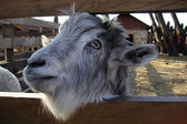 The goat looks at us because of a fence — Foto de Stock