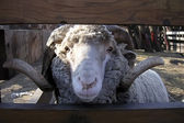 The ram looks at us because of a fence — 图库照片