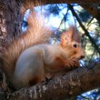 Stock Photo: Squirrel sits on pine and eats n