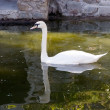 Stock Photo: White swan floating in a pond