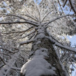 Pine in snow removed along a trunk again — Stock Photo