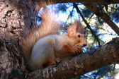 The squirrel sits on a pine and eats a n — Stock Photo