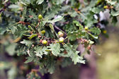 Acorns on an oak branch small depth of s — Stock Photo