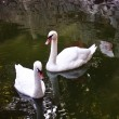 Two white swans float in a pond — Stock Photo