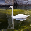 White swan floating in a pond — Stock Photo #1297250