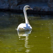 White swan floating in a pond — Stock Photo