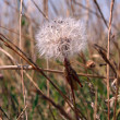 Stock Photo: White dandelion grows in green gra