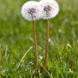 Two white dandelions grow in a green gra — Stock Photo