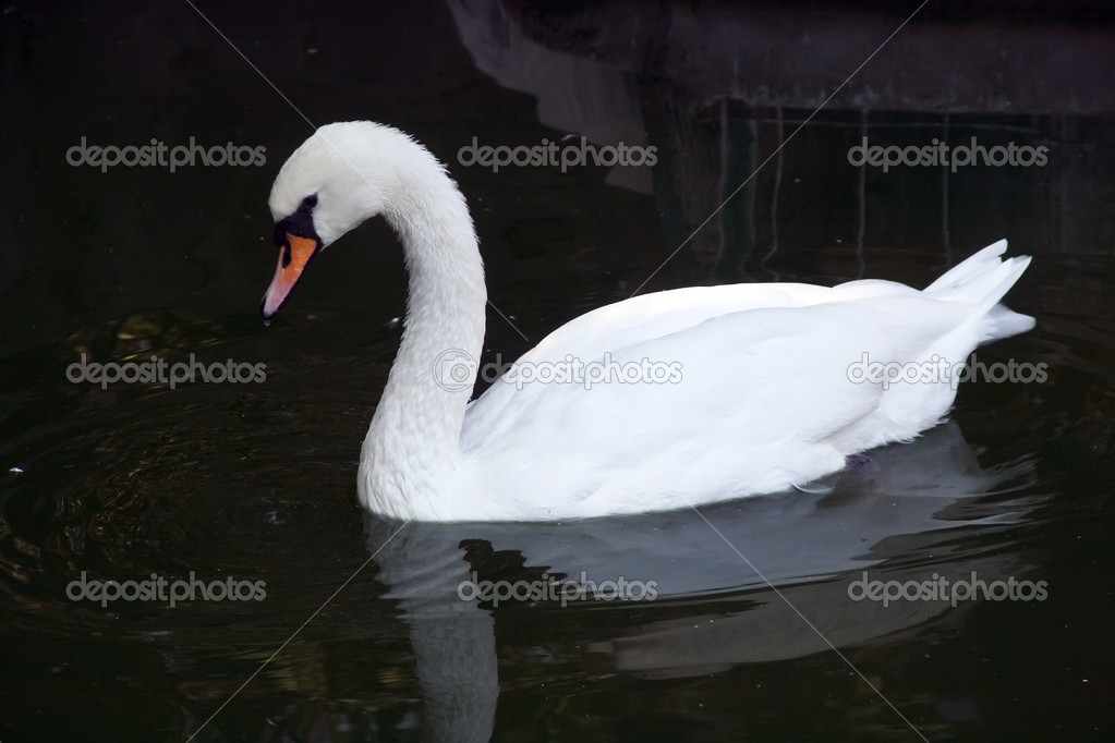 White swan floating in a pond — Stock Photo #1297202