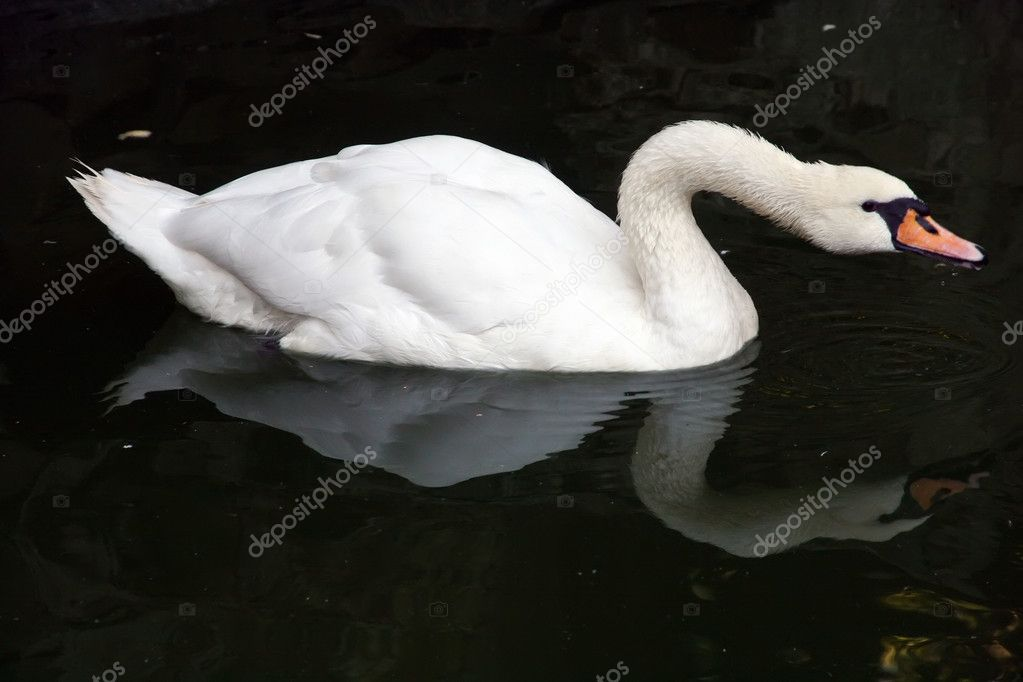 White swan floating in a pond  Stock Photo #1297226