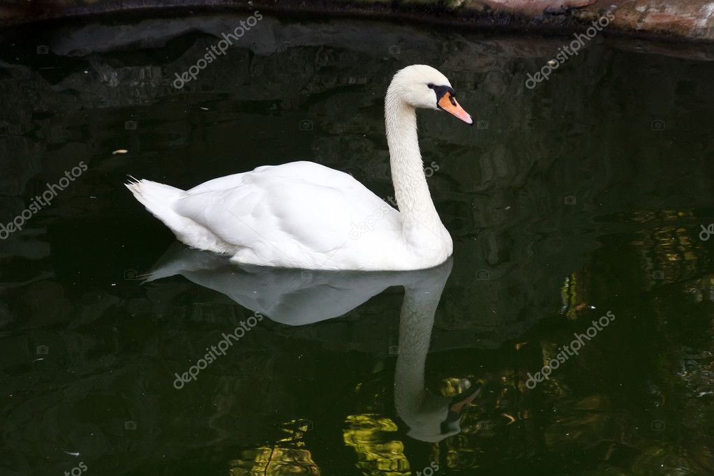 White swan floating in a pond — Stock Photo #1297241