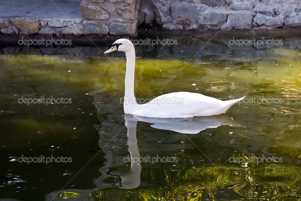 White swan floating in a pond  Stock Photo #1297250