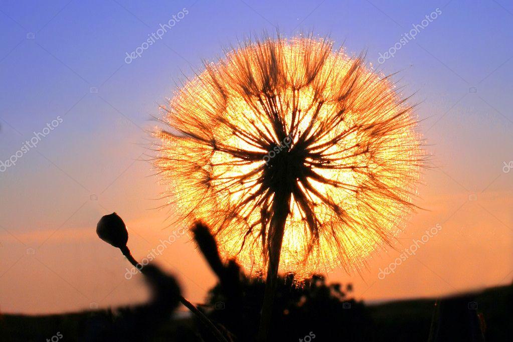 dandelion sunset related keywords - photo #25