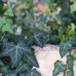 Stock Photo: Ivy close up against old wall from a