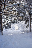 Snow road in pine wood — Stock Photo
