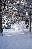 Snow road in pine wood — Foto de Stock