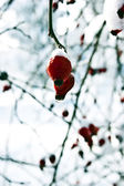 Red berries of a dogrose in snow — Stock Photo
