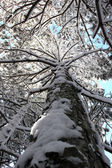 Pine trunk brought by snow — Stock Photo