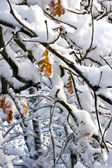 Autumn sheet strewn lightly with snow — Stockfoto