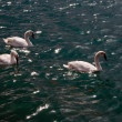 Three white swans float in a pond — Stock Photo