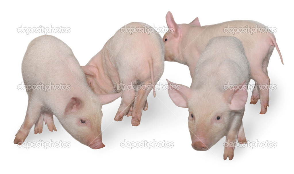 Four pigs who are represented on a white background.  Stock Photo #1192669