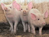 Three pigs — Stock Photo