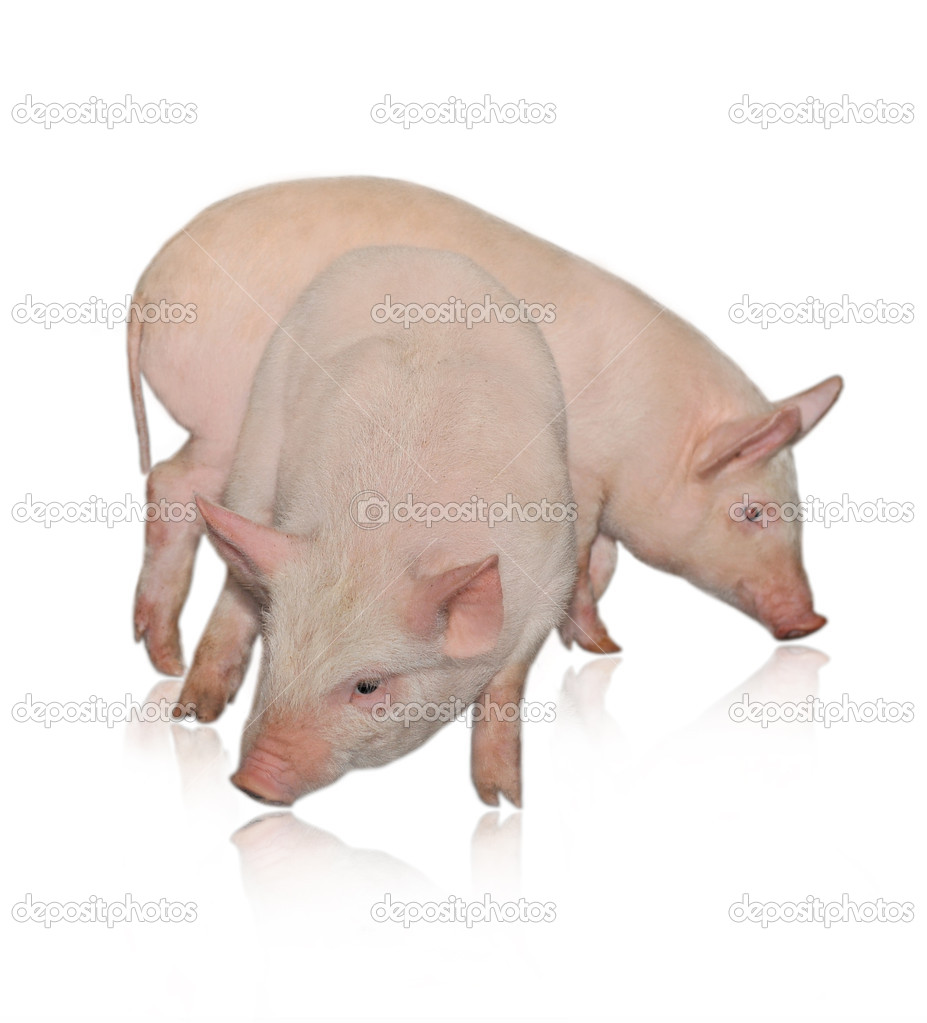 Two pigs who are represented on a white background  Stock Photo #1238490