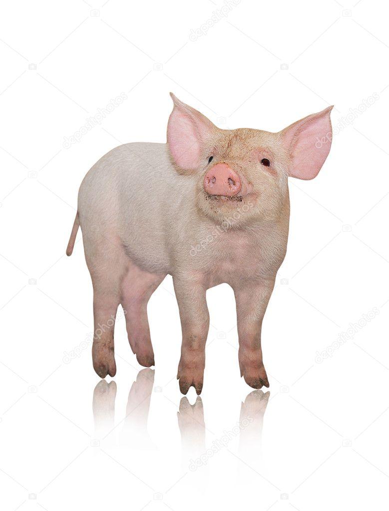 Small pig — Stock Photo © Tsekhmister #1254495
