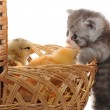 Royalty-Free Stock Photo: Kitten and chickens