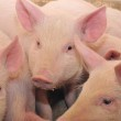 Pigs — Stock Photo #1266204