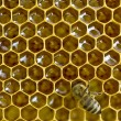 Bee honeycombs - Stock Photo
