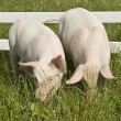Stock Photo: Two small pigs
