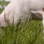 piccoli maiali — Foto Stock #1334323