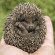 Stock Photo: Small hedgehog